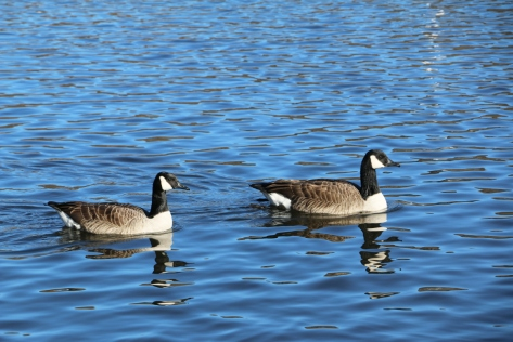 2_geese