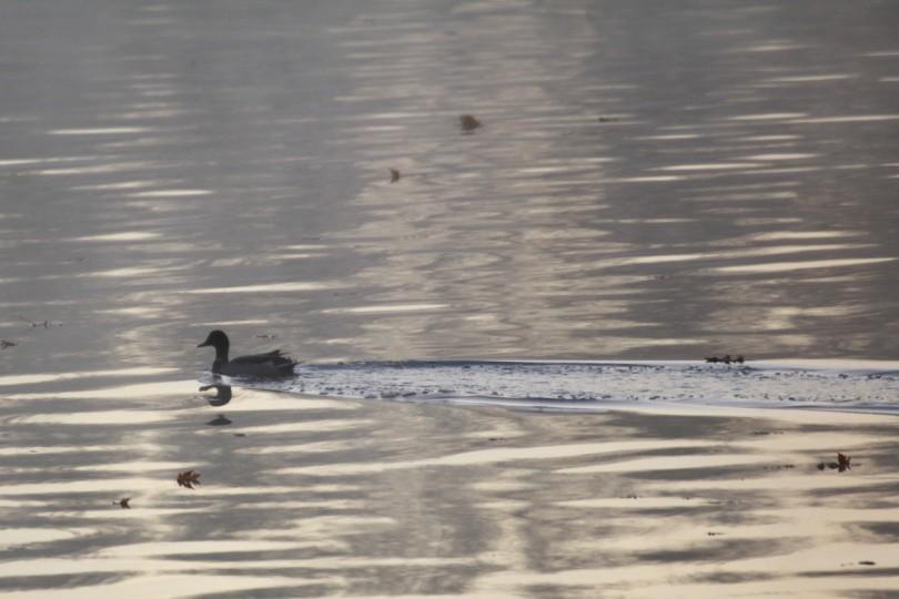 Duck at dusk