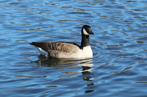 IMG_4132_swim_goose
