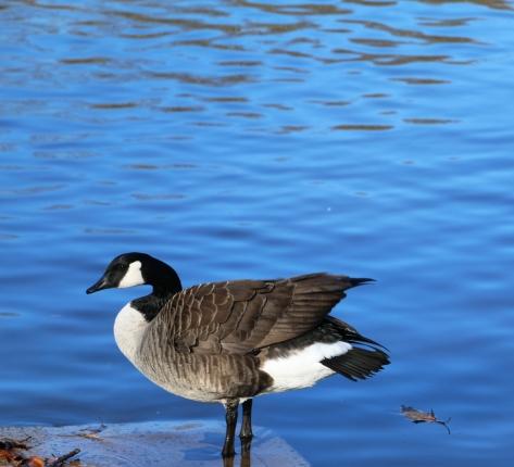 standing_goose