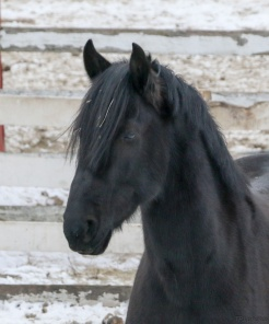UCONN horses