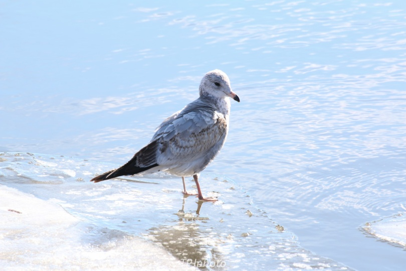 Gull On River Ice