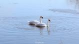 CT Swans