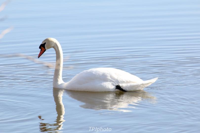 CT Swan