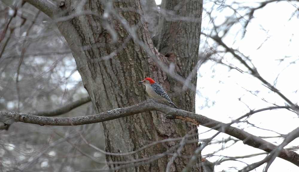 Red Belly Woodpecker