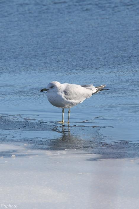 Gull Connecticut River
