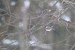 Black Capped Chickadee
