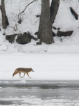 Coyote Meeting by the Connecticut river