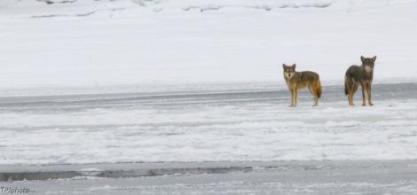 Coyote Meeting