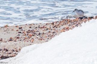 Plover on Connecticut shore