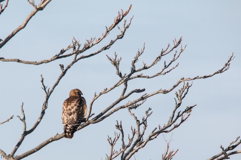 Connecticut Shore Hawk