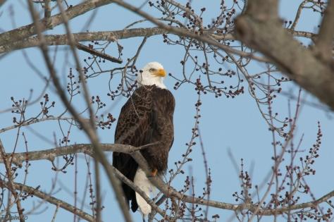 Bald Eagle Connecticut River