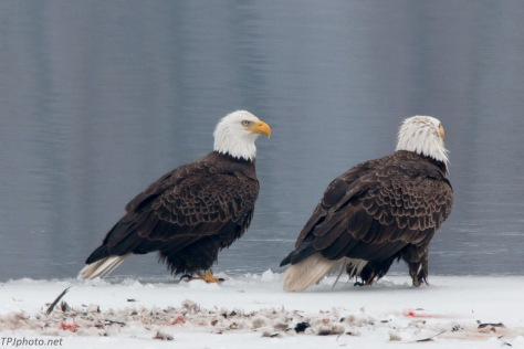 Pair Of Bald Eagles Click To Enlarge Image
