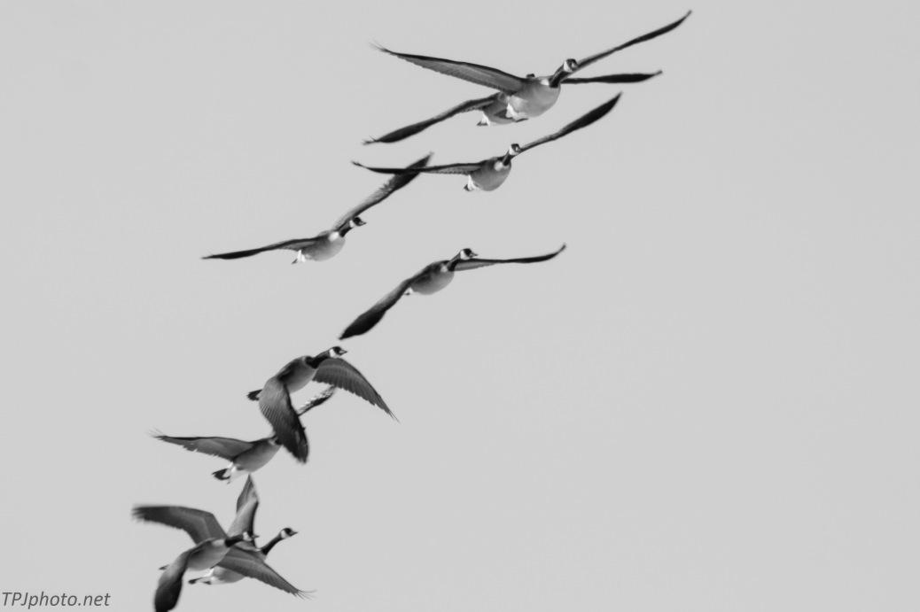 Black and White Geese