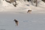Connecticut River Coyote