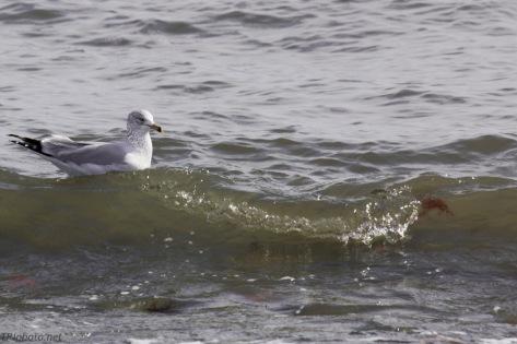 Connecticut Shore Gull