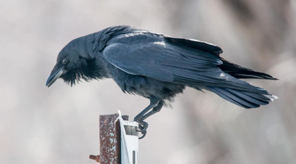 Connecticut River Crow