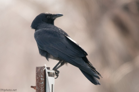 Connecticut Crow