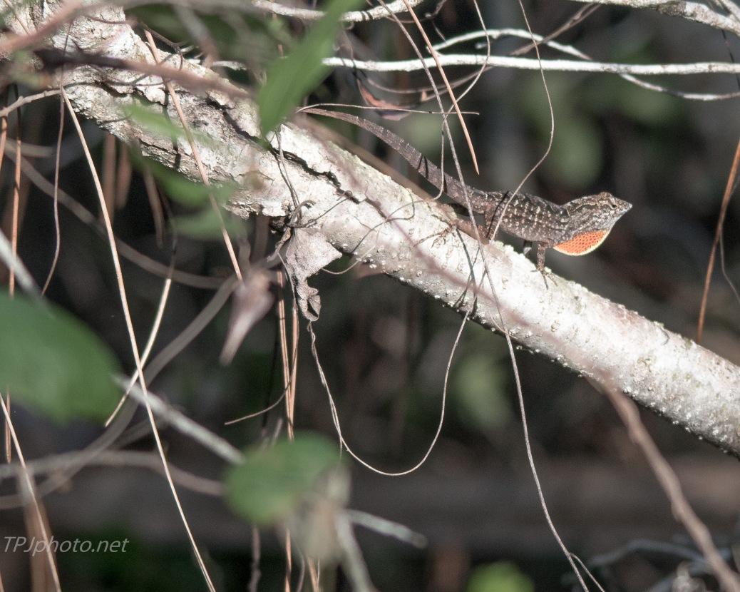 Gecko - Lizard