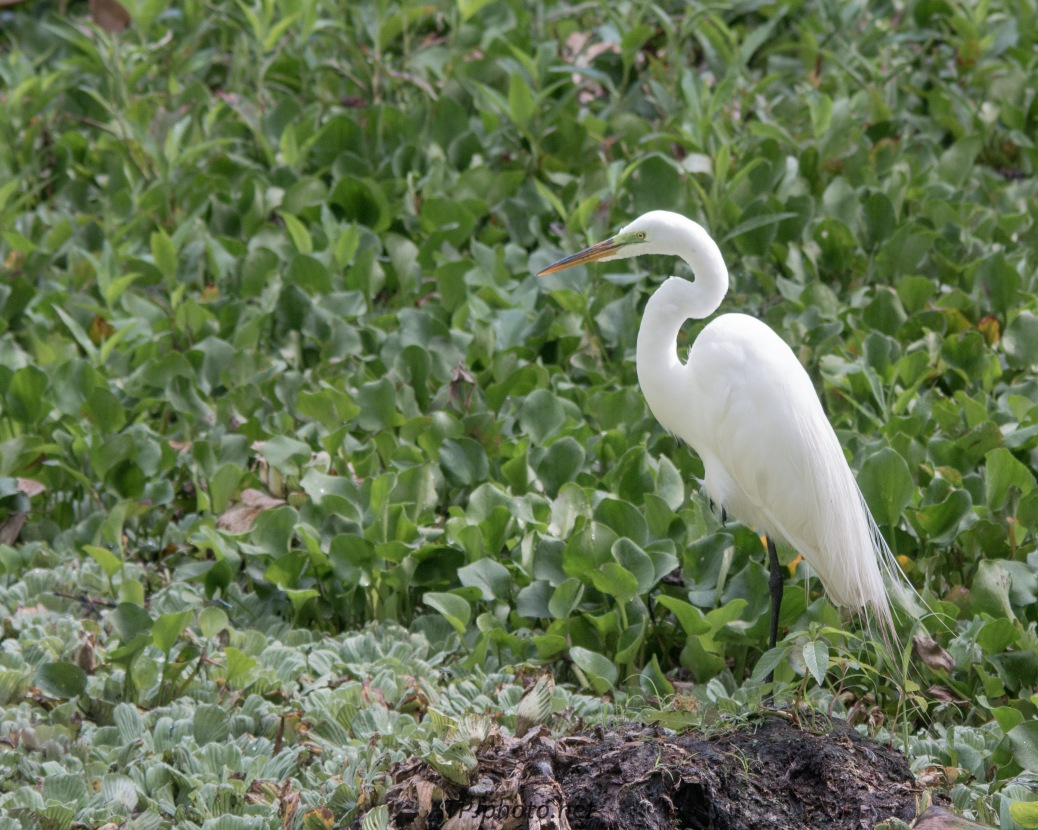 Great Egret (click to view)
