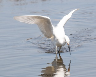 Fishing Snowy Egret - Click To Enlarge
