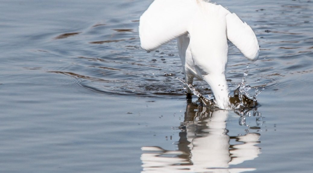 Fishing Snowy Egret