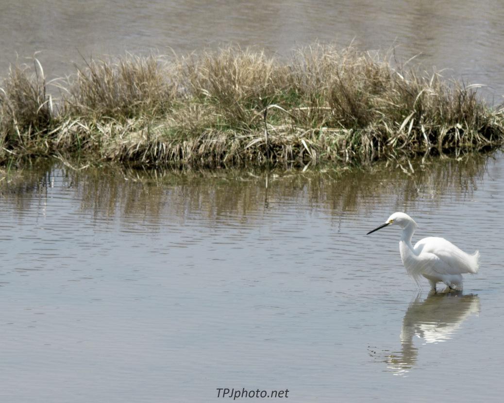 Fishing Snowy Egret