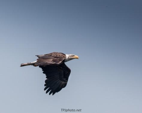 Connecticut Bald Eagle