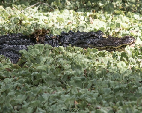 Alligator In Swamp