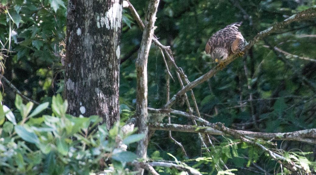 Hunting Red Shoulder Hawk