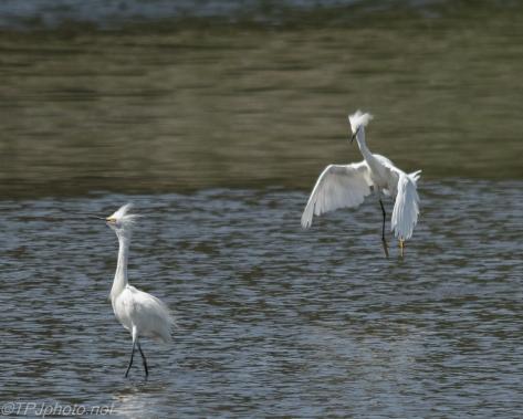 Snowy Egret Connecticut