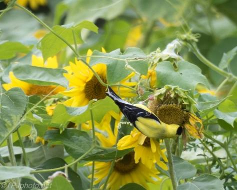 Goldfinch In Sunflower Field Connecticut