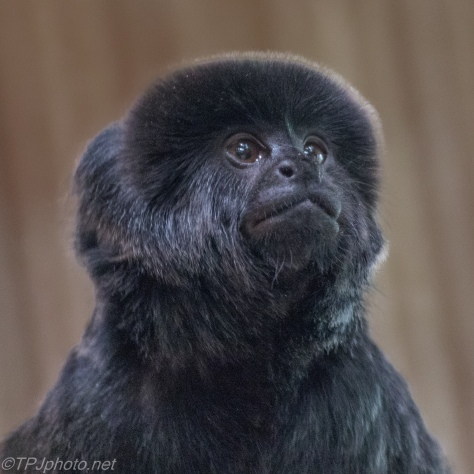 South American Howler Monkey - Click To Enlarge