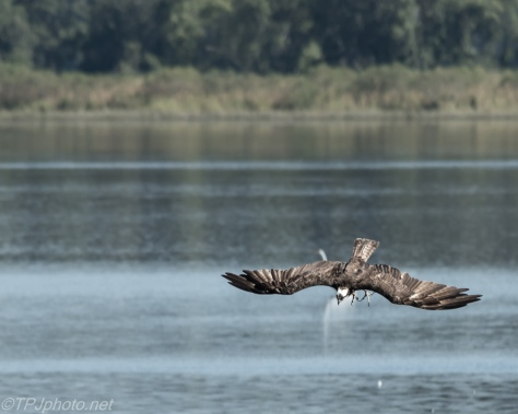 Diving Osprey - Click To Enlarge