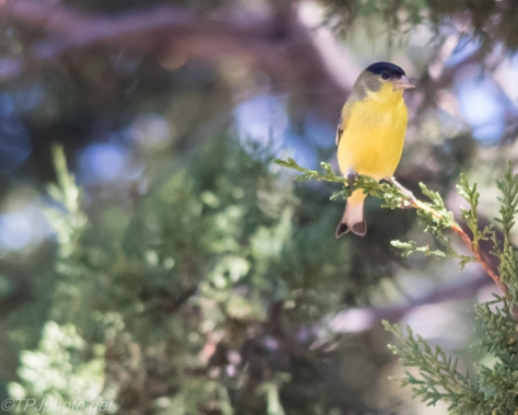 Lesser Goldfinch - Click To Enlarge