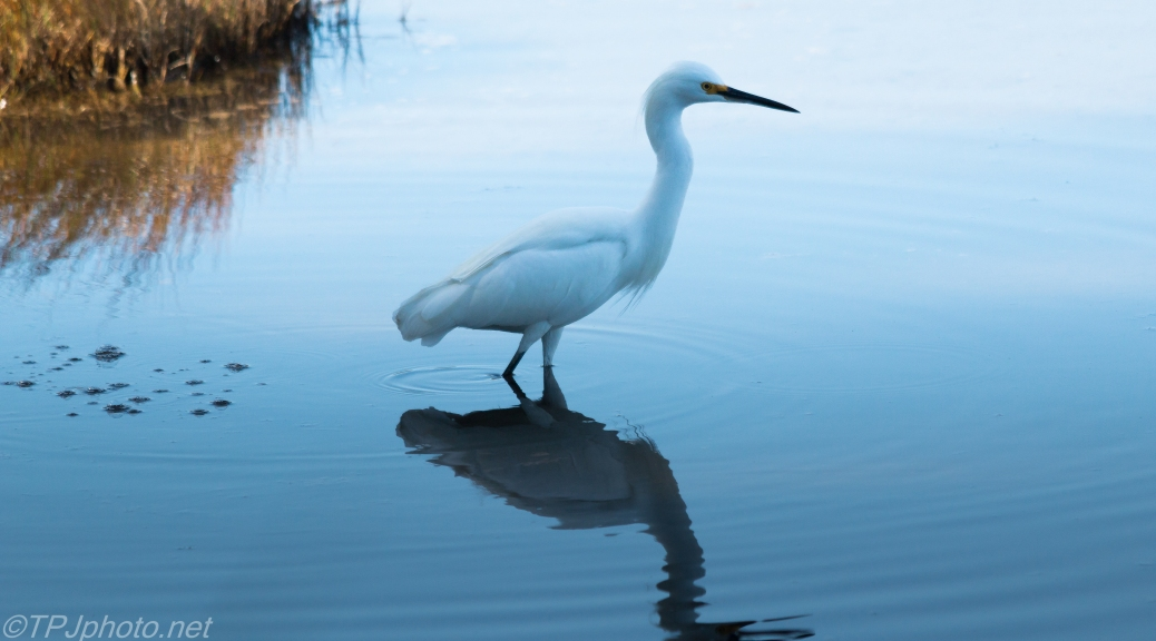Blue Shade Snowy Egret - Click To Enlarge