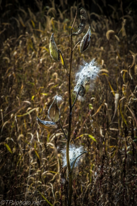 Fall Milk Weed - Click To Enlarge