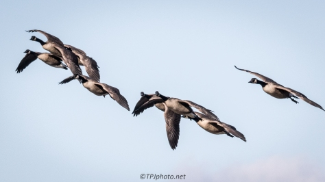 Canadian Geese Fly By - Click To Enlarge