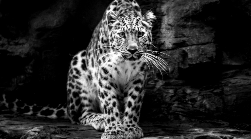 Leopard - Click To Enlarge