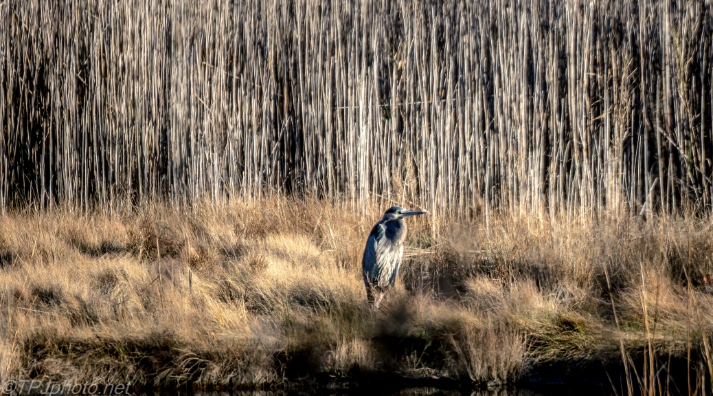 Heron Hiding In Plain Sight - Click To Enlarge