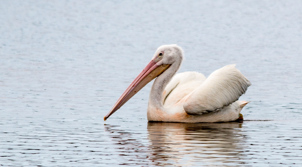 American White Pelican - Click To Enlarge
