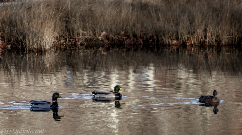 Marsh Mallards - Click To Enlarge