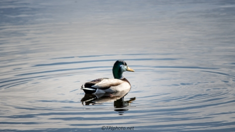 Lone Mallard - Click To Enlarge