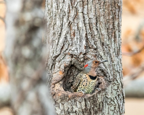 Northern Flicker - Click To Enlarge