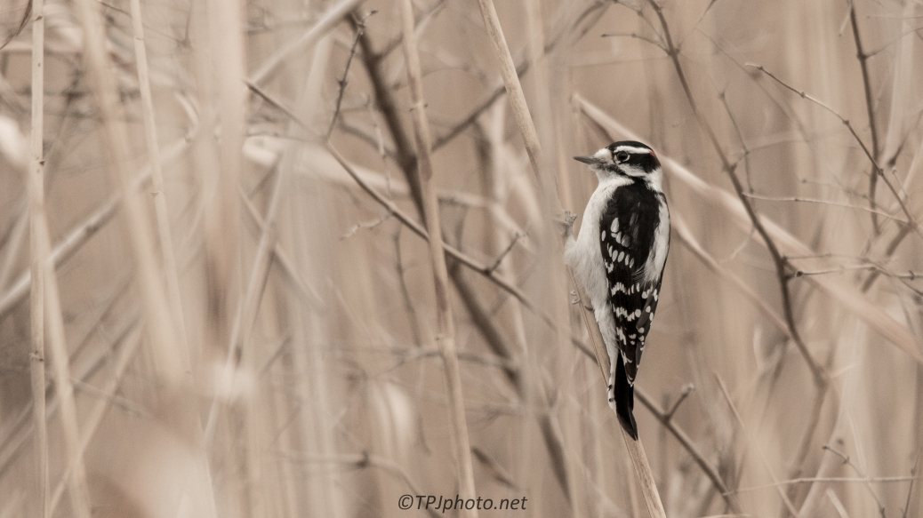Downy Woodpecker In Reeds - Click To Enlarge
