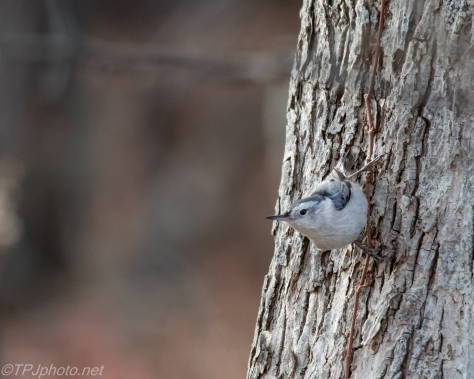 White-breasted Nuthatch - Click To Enlarge