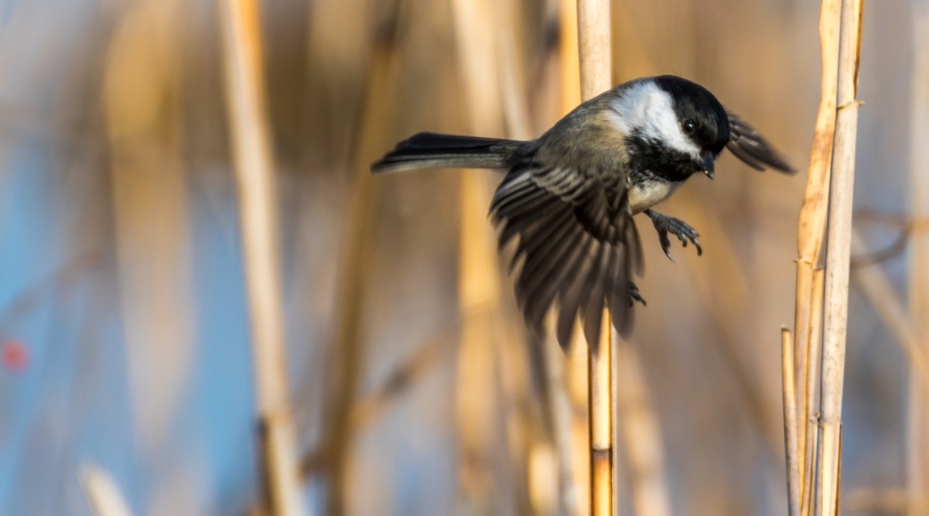 Chickadee In The Reeds - Click To Enlarge
