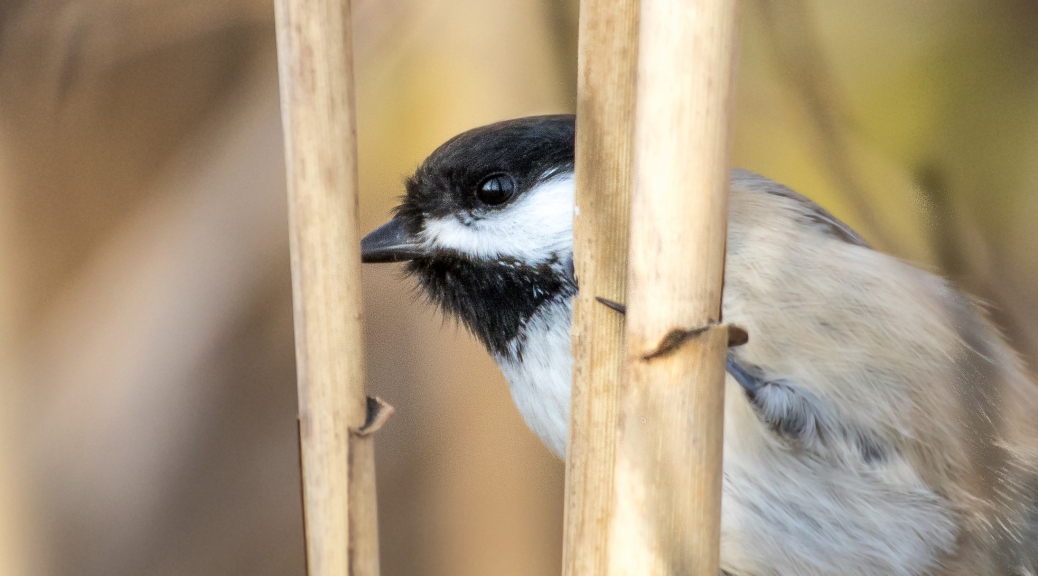 Chickadee Closeup - Click To Enlarge