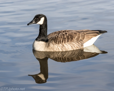 Canada Goose Reflections - Click To Enlarge