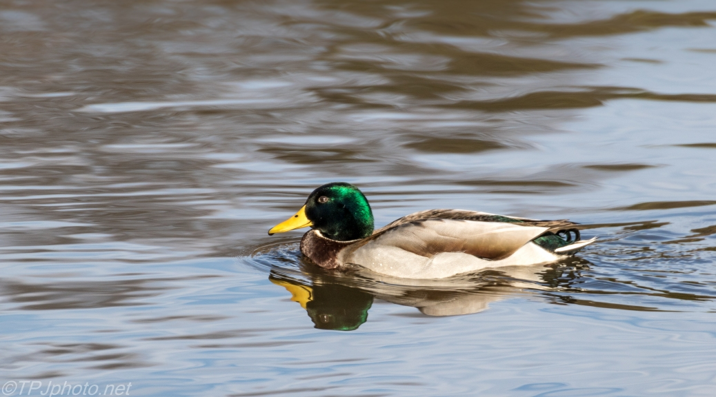 Picturesque Male Mallard - Click To Enlarge